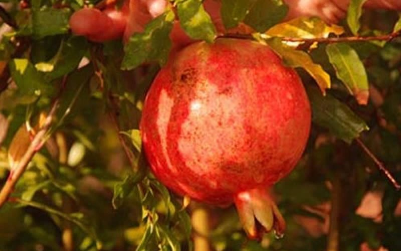 Russian 8 Pomegranate - 1 Gallon - Pomegranate Trees | ToGoGarden