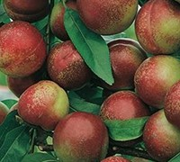 Arm King Nectarine - Prunus persica var. nucipersica 'Arm King'