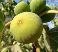 Lemon Fig - Ficus carica 'Lemon'