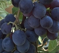 Concord Grape - Vitis labrusca 'Concord'