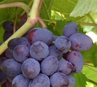 Mars Seedless Grape - Vitis labrusca 'Mars Seedless'
