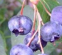 Baldwin Rabbiteye Blueberry - Vaccinium ashei 'Baldwin'
