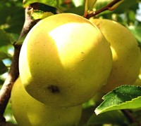Dorsett Gold Apple - Malus domestica 'Dorsett Gold'