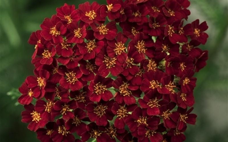 New Vintage 'Red' - Yarrow Photo 1
