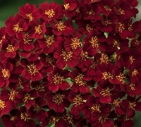 Shop New Vintage 'Red' - Yarrow - 1 Gallon