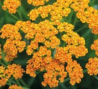 Desert Eve Terracotta Yarrow