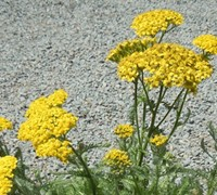 Desert Eve Yellow Yarrow