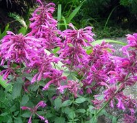 Grape Nectar Agastache - Hummingbird Mint