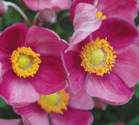 Pretty Lady Diana Anemone - Windflower
