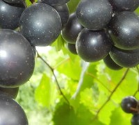 Hunt Muscadine - Vitis rotundifolia 'Hunt'