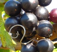 Lane Muscadine - Vitis rotundifolia 'Lane'