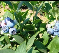 Biloxi Southern Highbush Blueberry