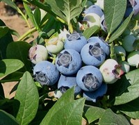 Shop Biloxi Southern Highbush Blueberry - 1 Gallon