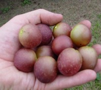 Shop Scarlett Muscadine - 1 Gallon