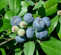 Vernon Rabbiteye Blueberry