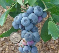 Titan Rabbiteye Blueberry - Vaccinium ashei