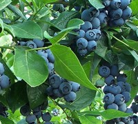 Cooper Southern Highbush Blueberry