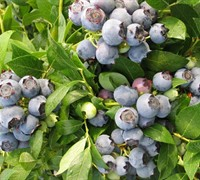 Shop Star Southern Highbush Blueberry - 1 Gallon