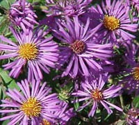 English Countryside New England Aster