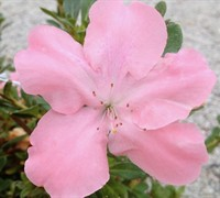 Shop Autumn Debutante Encore Azalea - 1 Gallon