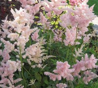 Sister Theresa Astilbe - False Spirea