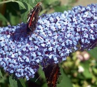 Buzz Sky Blue Dwarf Butterfly Bush
