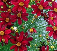 Red Satin Permathread Coreopsis - Tickseed