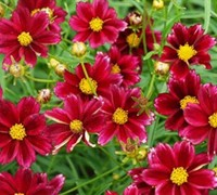 Mercury Rising Big Bang Coreopsis -Tickseed