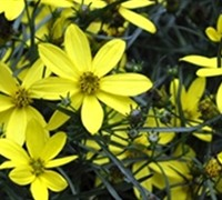 Electric Avenue Coreopsis - Tickseed