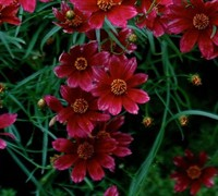 Shop Cruizin Main Street Coreopsis  - 1 Gallon