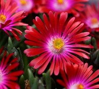 Shop Delosperma Jewel of the Desert Garnet - Ice Plant - 3 Count Flat of Pint Pots