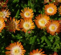 Shop Delosperma Jewel of the Desert Topaz - Ice Plant - 3 Count Flat of Pint Pots