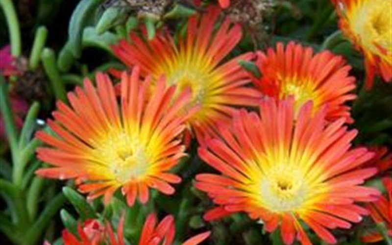 Delosperma Fire Wonder Ice Plant Photo 1