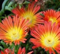 "Shop Delosperma Fire Wonder Ice Plant - 10 Count Flat 4.5"" Pots"