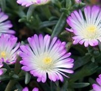 Shop Delosperma 'Violet Wonder' - Ice Plant - 8 Count Flat of Quart Pots