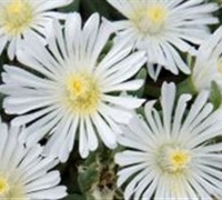 Delosperma White Wonder Ice Plant