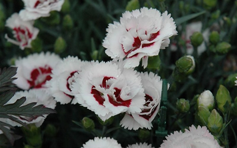 Coconut Surprise Carnation - 10 Count Flat - Quarts - Dianthus Groundcovers | ToGoGarden