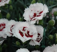 Coconut Surprise Carnation