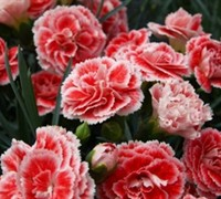 Coral Reef Dianthus - Carnation
