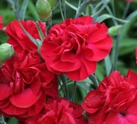 Shop Passion Tall Dianthus - Carnation - 3 Count Flat of Pint Pots
