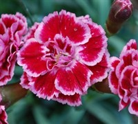 Shop Sugar Plum Carnation - 3 Count Flat of Pint Pots