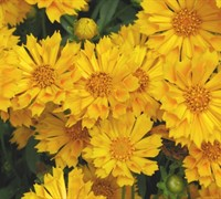 Shop Jethro Tull Coreopsis - 1 Gallon