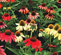 Shop Cheyenne Spirit Coneflower - 1 Gallon