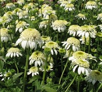 White Double Delight Echinacea - Coneflower
