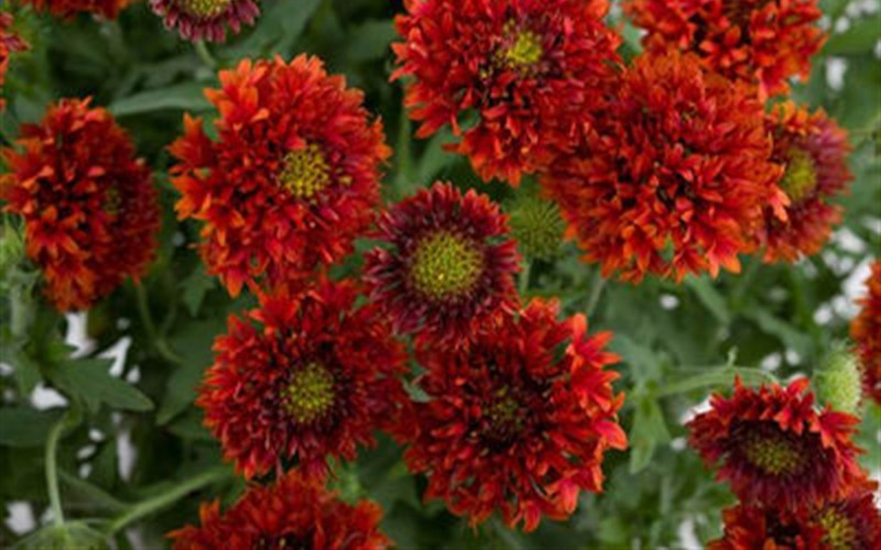 Bright Red Blanket Flower 1 Gallon Perennial Perennials For