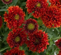 Asteraceae Gaillardia Gallo Bright Red - Bright Red Blanket Flower