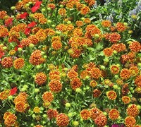 Shop Peach Blanket Flower - 3 Count Flat of Pint Pots