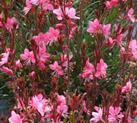Shop Belleza Dark Pink Gaura - 3 Count Flat of Pint Pots