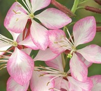 Shop Rosy Jane Gaura - 1 Gallon