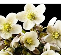 Helleborus Gold Collection 'Joker' - Ranunculaceae Helleborus Niger 'Joker'